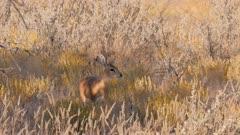 Steenbok female at sunset watching