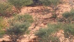 Steenbok female on sand dune browsing scrub