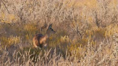 Steenbok female at sunset watching listening