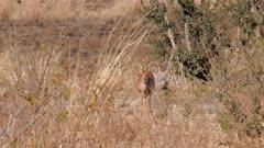 Steenbok male alert watching listening