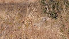 Steenbok male feeding then beds down