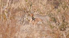 Steenbok male lying in the sun