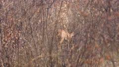Steenbok female in thick scrub