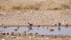 Ring-necked dove taking flight from waterhole slow motion
