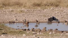 Ring-necked dove landing at waterhole Burchell's sandgrouse and red-headed finch taking flight slow motion