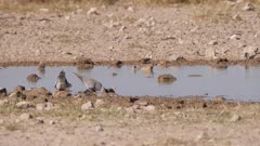 Ring-necked dove and Burchell's sandgrouse landing at waterhole  slow motion