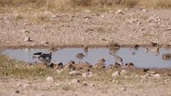 Ring-necked dove taking flight at waterhole  slow motion