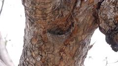 Lesser striped swallow building nest slow motion 180fps