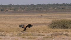 White-backed vulture flying to join with Lappet-faced vultures to squabble our scraps