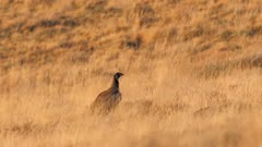 Sage-grouse hen in grassland at sunset