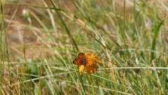 Great Basin fritillary butterfly lands on flower feeds then exits