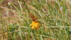Great Basin fritillary butterfly feeding on flower exits then returns