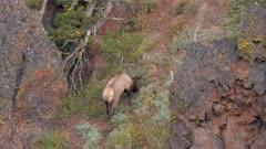 Elk bull large antlers climbing through rock terrain