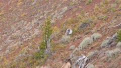 Elk bull large antlers climbing above treeline