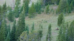 Elk herd calves bedded together watched over by one cow