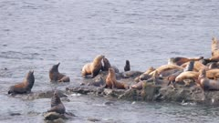 Californian and Steller sea lions at Simpson reef haul-out Oregon