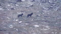 Gray Wolf pack Oregon, two well grown pups howling with pack