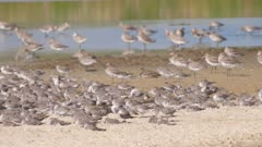 Lesser knots preening in foreground, bar-tailed godwits in background