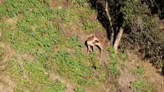 Rusa deer yearling hind grooming in a steep sunny forest opening. Yawns and licks muzzle.