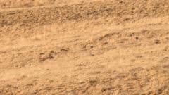Sage-grouse flock feeding in grassland at sunset