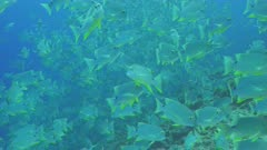 Sailfin Snapper aggregating in there thousands on coral reef