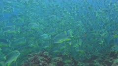 Sailfin snapper aggregating in their thousands coming toward camera