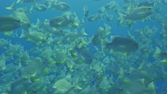 Sailfin snapper aggregating in their thousands very close to camera