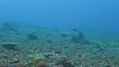 Feathertail Ray, Pastinachus sephen, free swimming