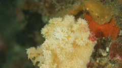 Soft Coral Crab 5K