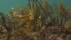 Leafy Seadragon Among Sponges 5K