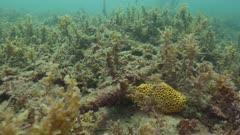 Leafy Seadragon Swimming Among Kelp 5K