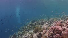 Lots Of Fish Swimming On Coral Reef 5K Indonesia
