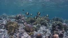 Moorish Idols Swimming Over Reef 5K Indonesia