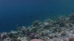 Fish Swimming Over Reef 5K Indonesia