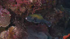 Puffer/Box Fish Swimming Along Reef Wall 5K Indonesia