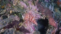 Lion Fish On Reef 5K Indonesia