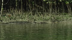 Saltwater Crocodile Swimming Along River Bank  Daintree River 4K