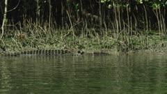 Saltwater Crocodile Swimming Along River Bank  Daintree River 4K