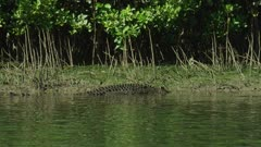 Saltwater Crocodile Walking Up River Bank  Daintree River 4K