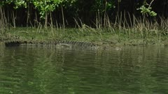 Saltwater Crocodile laying On River Bank  Daintree River 4K