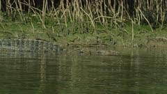 Saltwater Crocodile laying On River Bank  Daintree River 4K