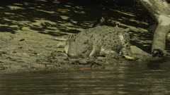 Saltwater Crocodile laying On River Bank Close Up  Daintree River 4K