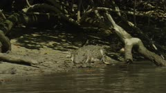 Saltwater Crocodile laying On River Bank Head Movement  Daintree River 4K