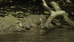 Saltwater Crocodile laying On River Bank, Movement  Daintree River 4K