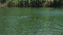 Saltwater Crocodile Swimming Across River, Daintree River 4K