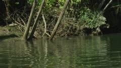 Saltwater Crocodile Resting On Fallen Tree Trunk, Daintree River 4K