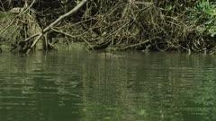 Saltwater Crocodile Resting Near River Bank, Daintree River 4K