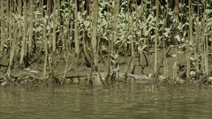 Saltwater Crocodile Hiding Among Trees, Daintree River 4K