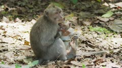 Macaque Monkey Mother And Child Sitting On Leaf 5K
