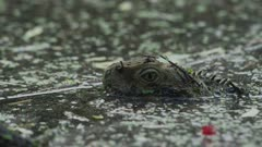 Water Dragon Submerged, Head Showing Close Up 5K